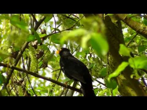 Blackbird Singing in Forest - Relaxing Sounds of Nature