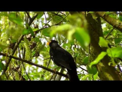 Ardıç kuşu kara tavuk cagırma sesi
