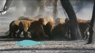 Кормление тигров в зоопарке Китая