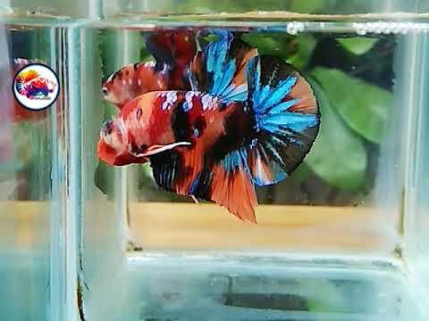 Ikan Cupang Nemo Galaxy Size M Youtube