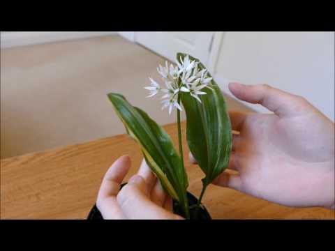 Rare Variegated Wild Garlic Plant
