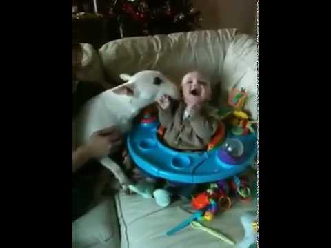 Baby Amp English Bull Terrier Youtube