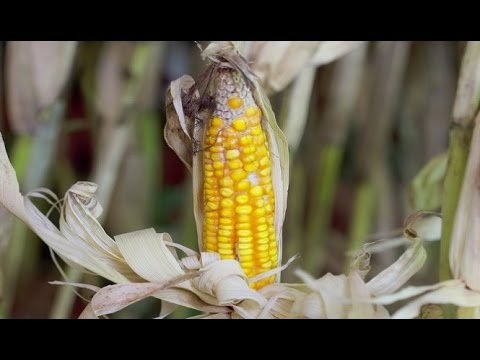 GMO Lawsuit: Iowa Farmers Are Suing Syngenta!