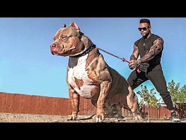 Вашей Собаке Лучше Не Знать о Существовании Этих Псов. Самые Опасные Собаки в Мире
