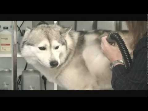 Siberian Husky grooming Master Class From Monica Rear