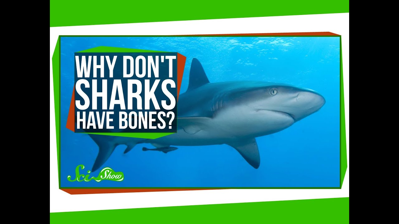 Why Don\'t Sharks Have Bones? - YouTube
