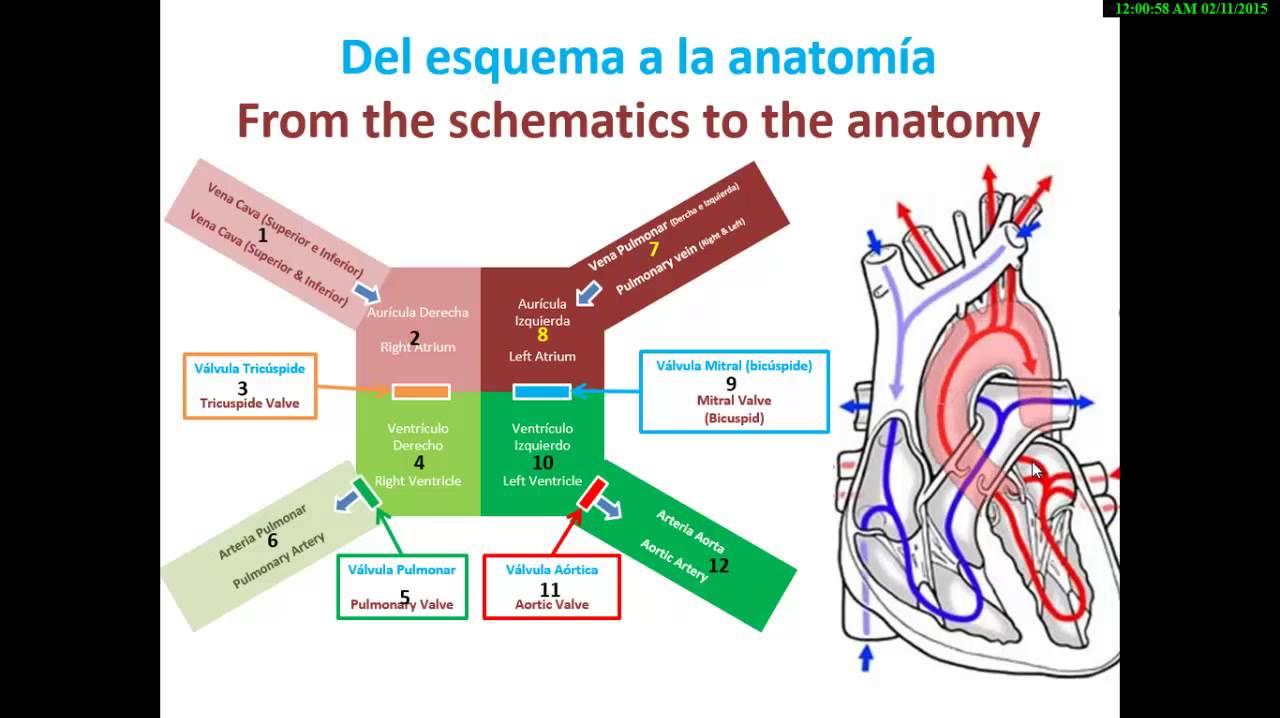 Basic Heart Anatomy and Physiology - YouTube