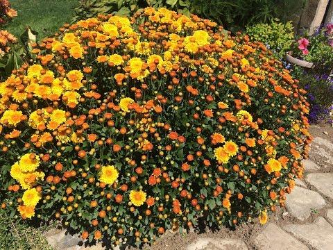 Мультифлоры - от черенка до цветения. Chrysanthemum cutting.