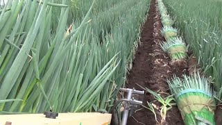 Japan Long Green Onion Cultivation Technology - Welsh Onion Farm and Harvesting