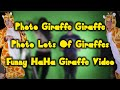 Photo Giraffe Giraffe Photo Lots Of Giraffes Funny HaHa Giraffe Video