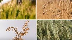 Rätsel: Weizen, Roggen, Gerste, Hafer - erkennt ihr diese Getreidearten?
