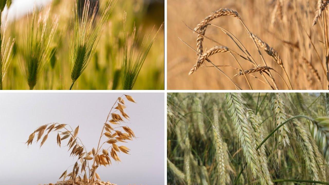 Download Rätsel: Weizen, Roggen, Gerste, Hafer - erkennt ihr diese Getreidearten?
