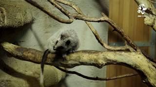 Velemyš obláčková (Phloemys pallidus) je stromový hlodavec původem ...