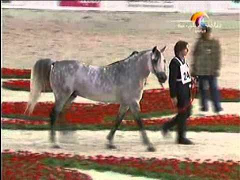 "The 14th Sharjah International Arabian Horse Festival ""Gold Show"""
