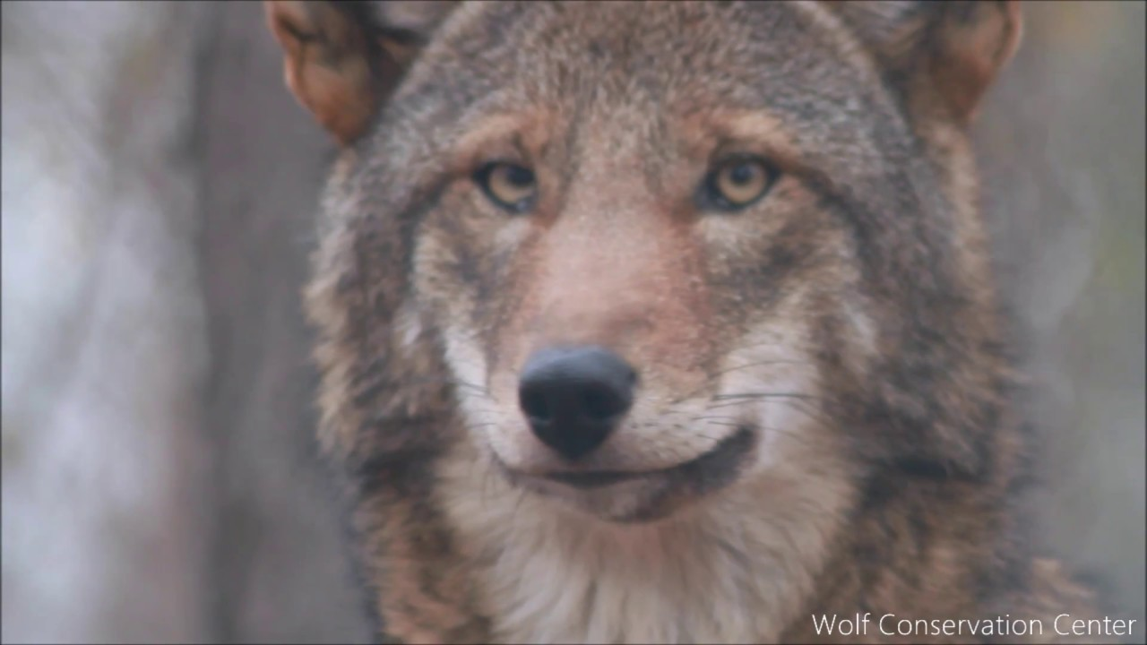 Essential Red Wolf