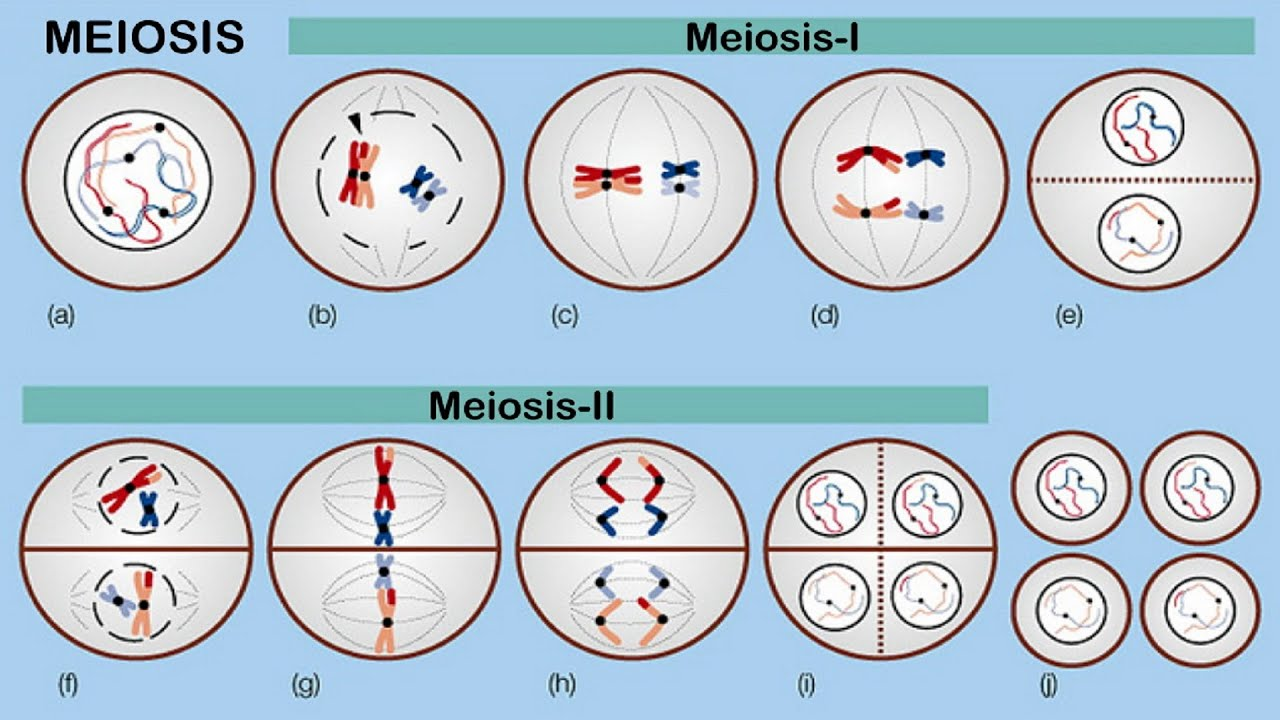 Stages Of Mitosis And Meiosis Diagrams Defy Oven Wiring Diagram Random Orientation Chromosomes During Meiosis. - Youtube