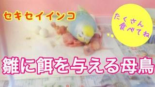 初めて孵った雛達に一生懸命餌を与える母鳥がとても愛らしい!