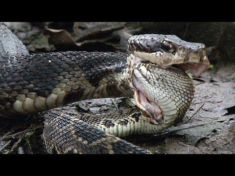 Cottonmouth Vs Rattlesnake 01 Cottonmouth Kills Eats Rattlesnake