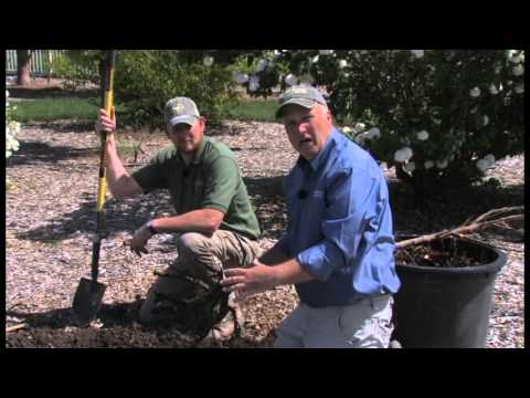 How To Plant Bare Root Trees Youtube