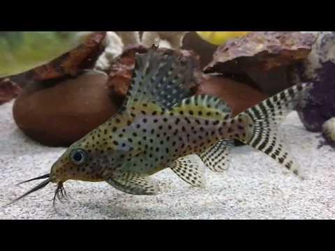 Upside Down Catfish - Synodontis - Cat Fish - Mochokid Catfish Synodontis