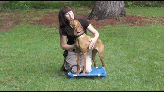 Dog Training, Luna, Vizsla, Day 2: Loose Leash Walking, Recall, Place, Free