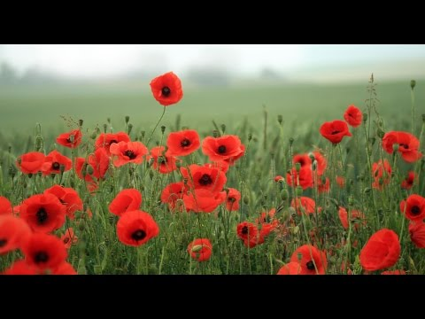 In Flanders Field, Poem by John McCrae, May 1915
