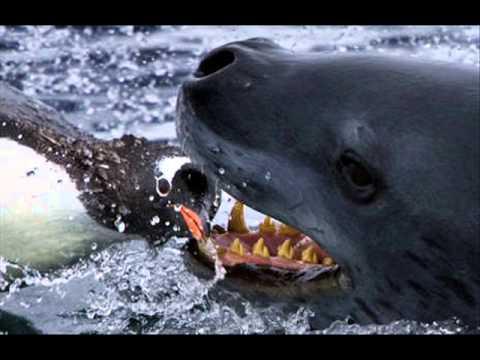Killer Whale vs. Leopard Seal - YouTube