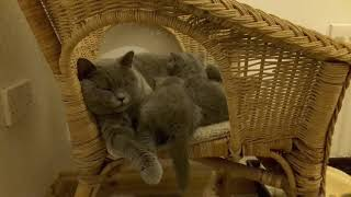 British Shorthair. Milk has come but not everyone knows it *cattery Calmcat British Shorthair