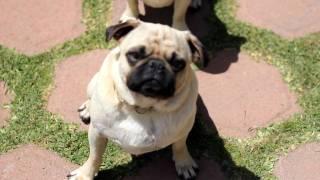 Pugs In 1080p (50mm F/1.8)