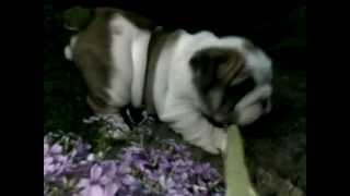 Frasier 5 Weeks Old Male Available!. To Die For Overdone Exquisite English Bulldog Litter!