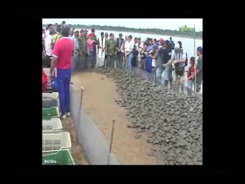 Tortugas arrau, una especie en peligro