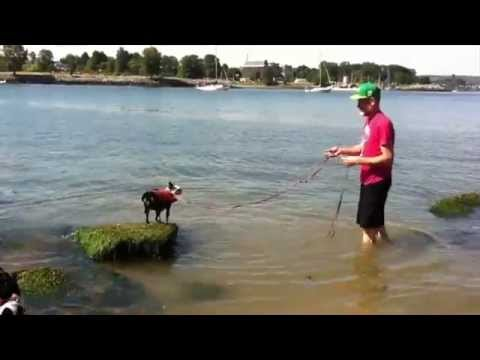 Boston Terrier Swimming with a Life Jacket  |  Boston Terribles
