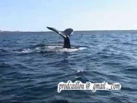 baleine a saint-pierre et miquelon