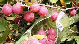 Как быстро собрать крыжовник и вишню -Приспособление для сбора вишни и ягод крыжовника