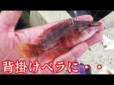 堤防からベラのエレベーター泳がせ釣りにあり得ない生物がきた・・・