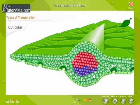 transpiration rates in plants Transpiration is the process in which plant roots absorb water and then release the water in the form of vapour through the variables affecting transpiration rates.