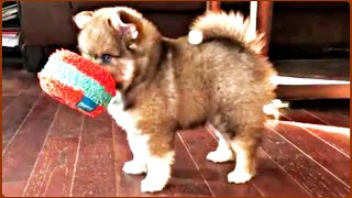 Precious Puppy Barking and Playing With Puppy and Toy | Puppies Video Compilation