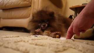Pomeranian Guarding His Bone (funny And A Little Bit Scary!)