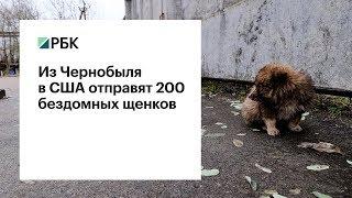 Остров собак: 200 щенков из Чернобыля отправятся в США