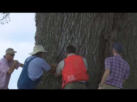 Spooner Live Oak