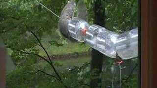 Squirrel on Bird Feeder - and not getting any seeds!