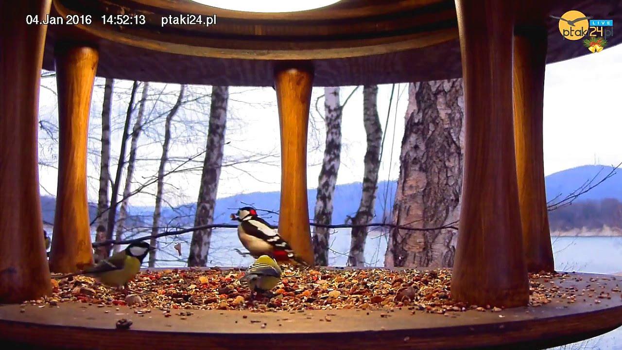 Stukotek, Bartek i sikorki w karmniku dla ptaków nad Jeziorem Solińskim w Bieszczadach