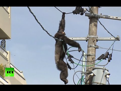 Dramatic high-altitude chase as chimp goes on the loose in Japan