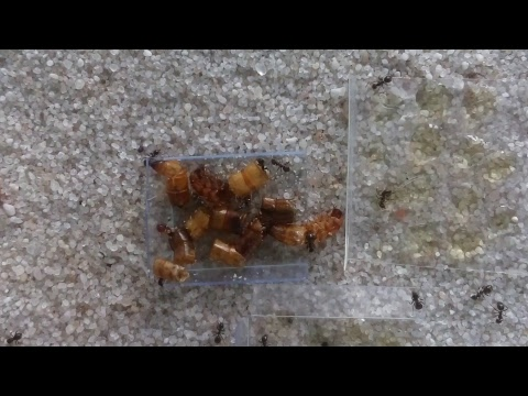Ant stream - le clickbaito tittle - livestream ants antfarm live ( lasius niger )