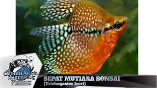 Sepat Mutiara Bonsai Trichogaster Leeri Youtube