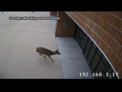 Deer runs into Manistique school