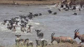 Wildebeest Migration _ MasaiMara Safari