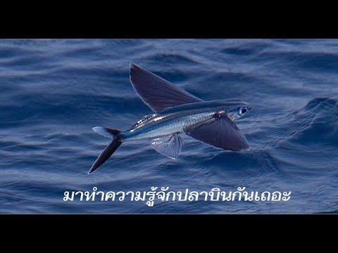 มาทำความรู้จักปลาบินกันเถอะ!? (flying fish)