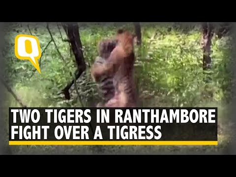 2 Tigers Battle Over A Tigress In Ranthambore Reserve | The Quint