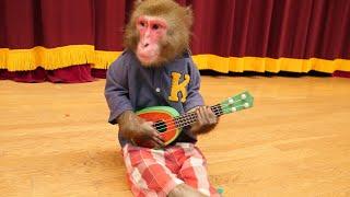 【世界初】ギターを弾いてみたお猿さん。 クロダAnimal Trainer